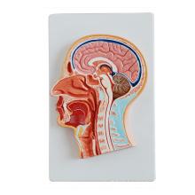 Median Sektion des Kopfes
