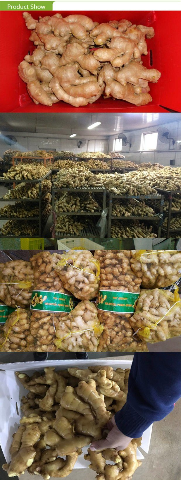 Fresh Fat Chinese Ginger for New Crop