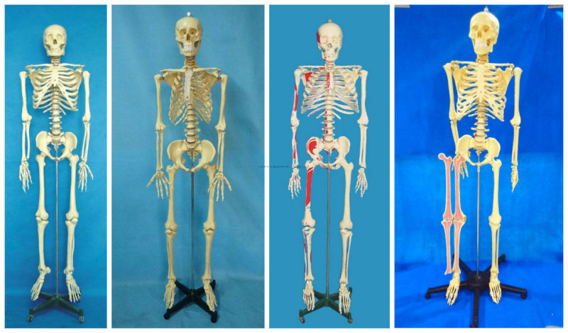 170 Cm Medical Human Skeleton Model with Painted Muscle & Ligament