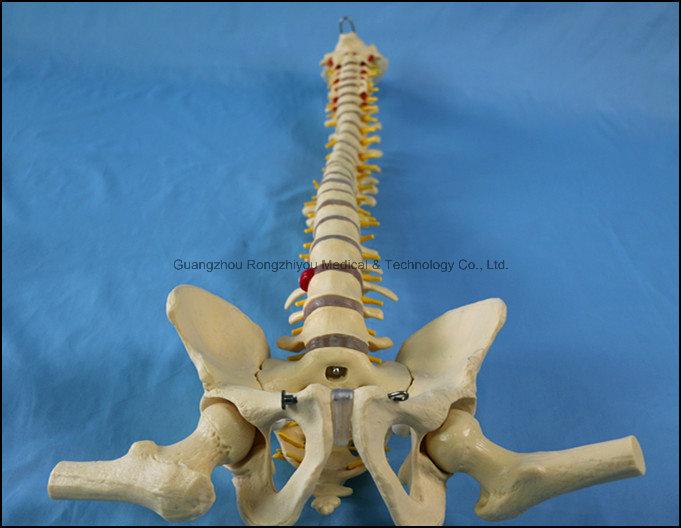 Classic Flexible Spine Skeleton Model with Femur Heads