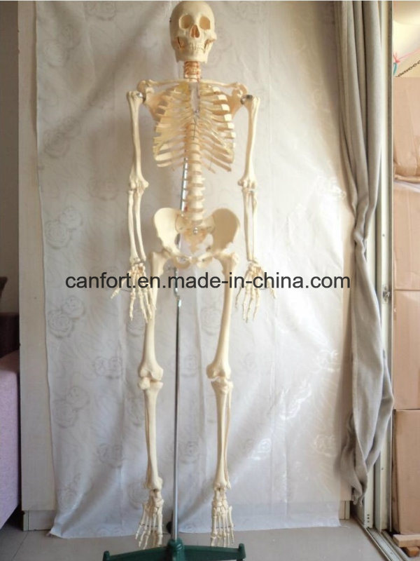Human Skeleton Model Natural Size Foot Joints Model with Ligament