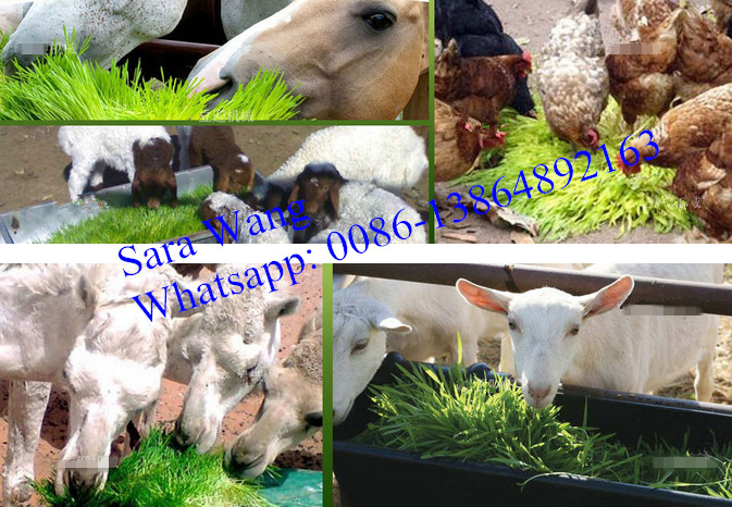 Animal Feed Growing Equipment/Wheat Seeding Machine/+8615621096735