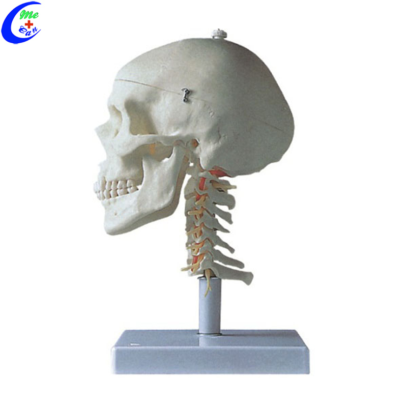 Classic Anatomical Painted Human Skull Model, 3 Part