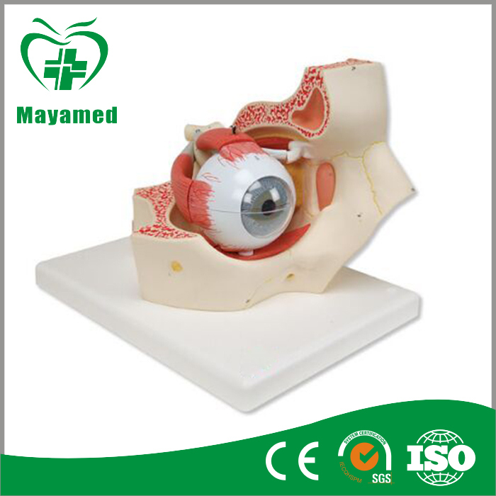 The Model of Eyeball and Orbital to Show Internal Details