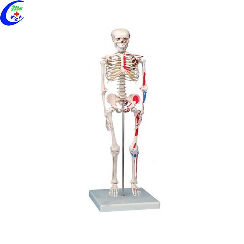 Medical Human Anatomical Skeleton Model