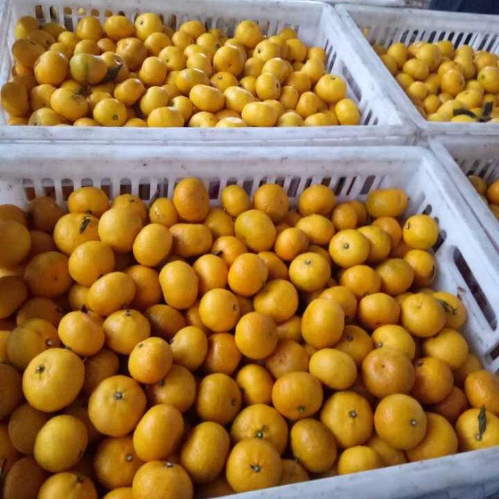 Top Quality of Fresh Honey Baby Mandarin