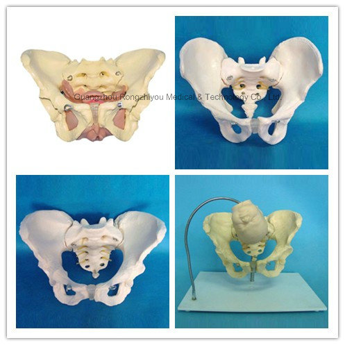 Life-Size Adult Female Muscular&Inner Organs in Pelvis Model