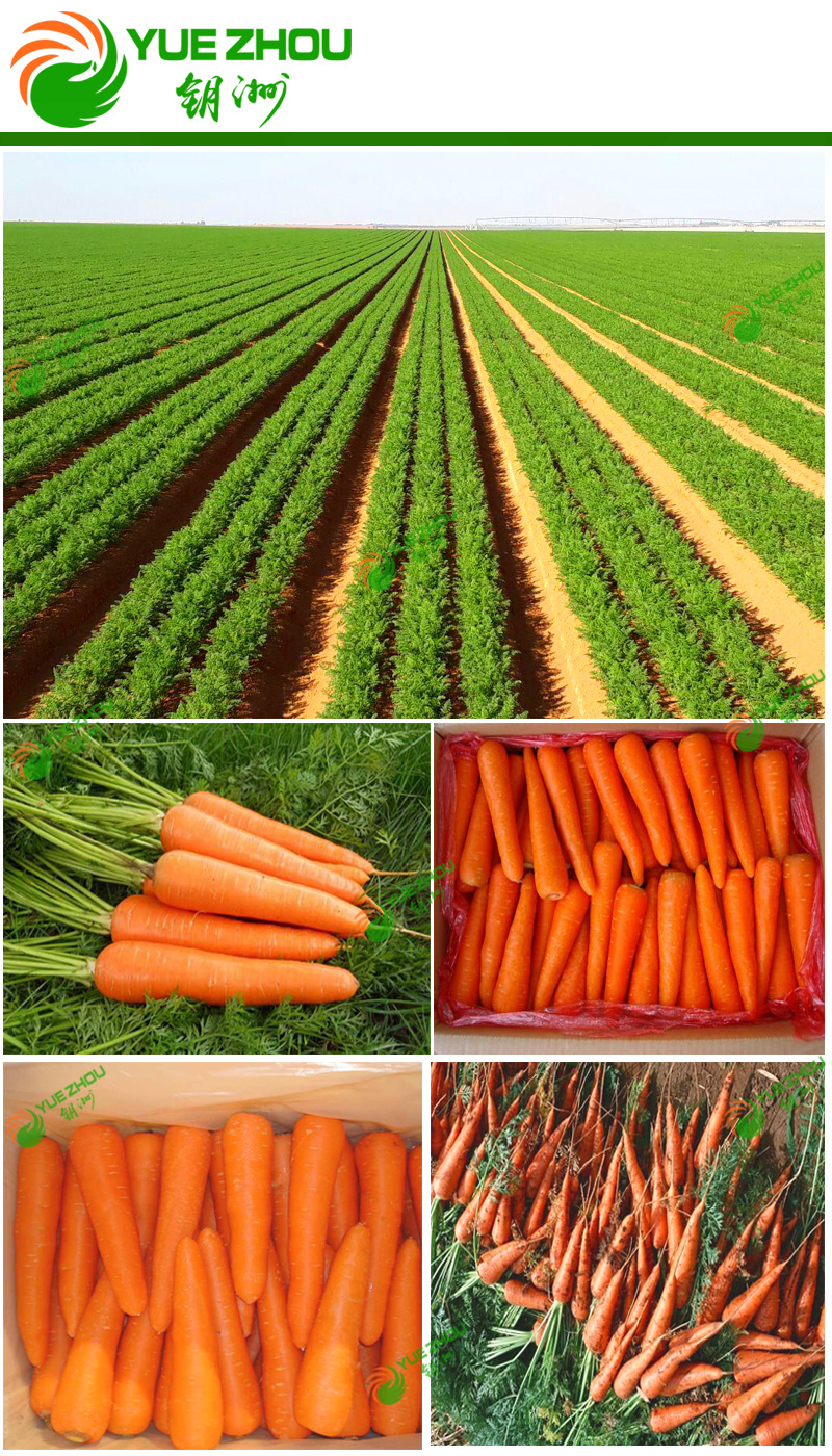 2018 Fresh Carrot New Crop Corrot From China with Cheap Price