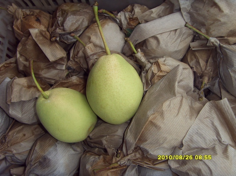 Green Shandong Pear for India Market