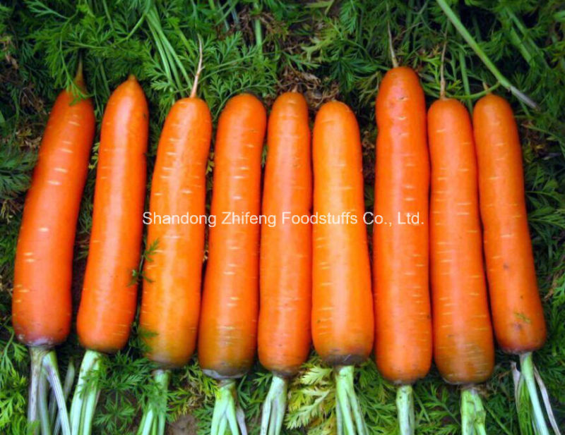Chinese New Crop Red Fresh Carrot