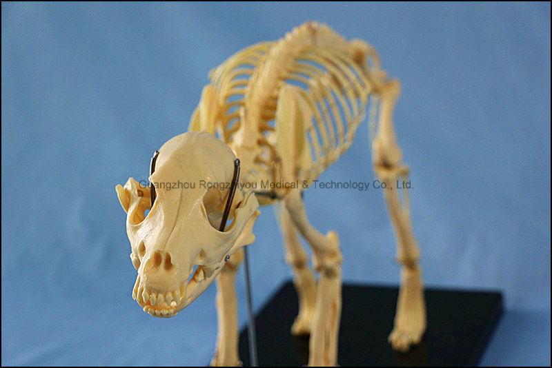Animal Product Dog Skeleton Model for Sale