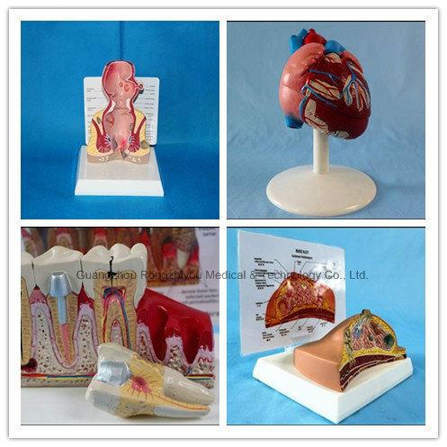 Transparent Natural Size Adult Heart Model