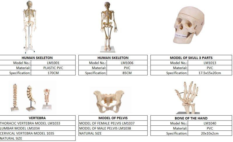 Teaching Model Fake Human Skeleton, Human Skull