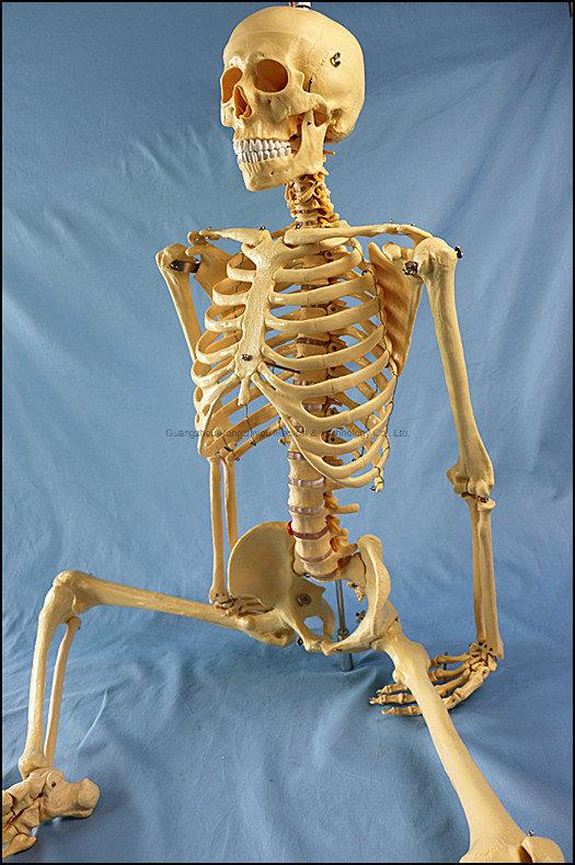 170cm Life Size Human Skeleton Medical Teaching Anatomy Model