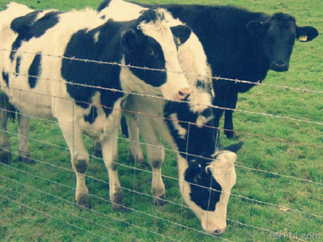 Cattle Fence/Pig Fence /Deer Fence/Field Fence/Fence Price