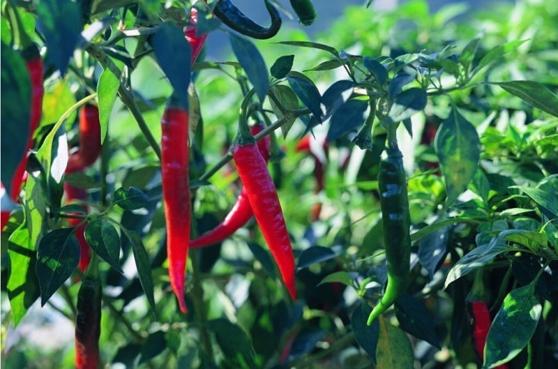 2014 New Crop Dried Red Chili Peppers