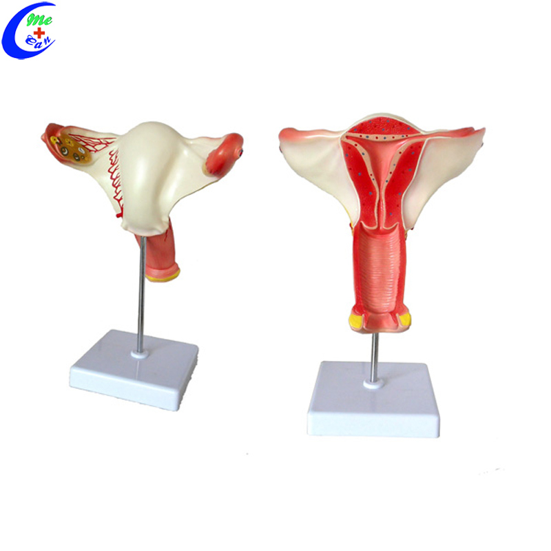 Reproductive System Male Genital Organ Model