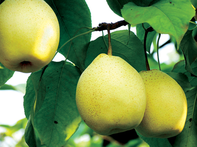 New Crop Fruit Fresh Ya Pear