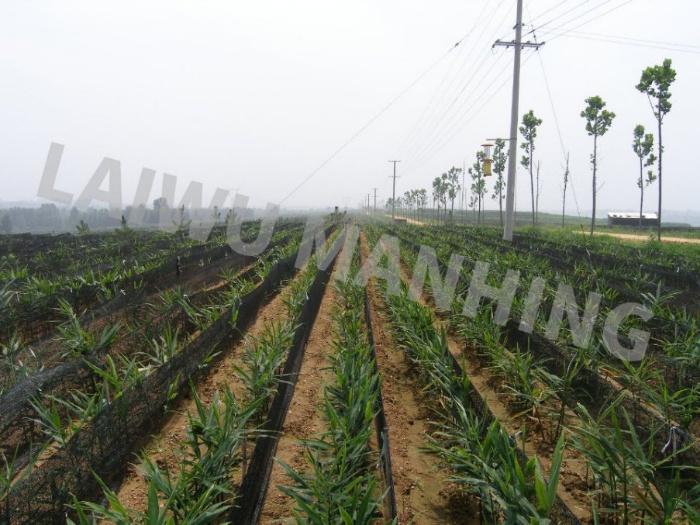 planting base for ginger
