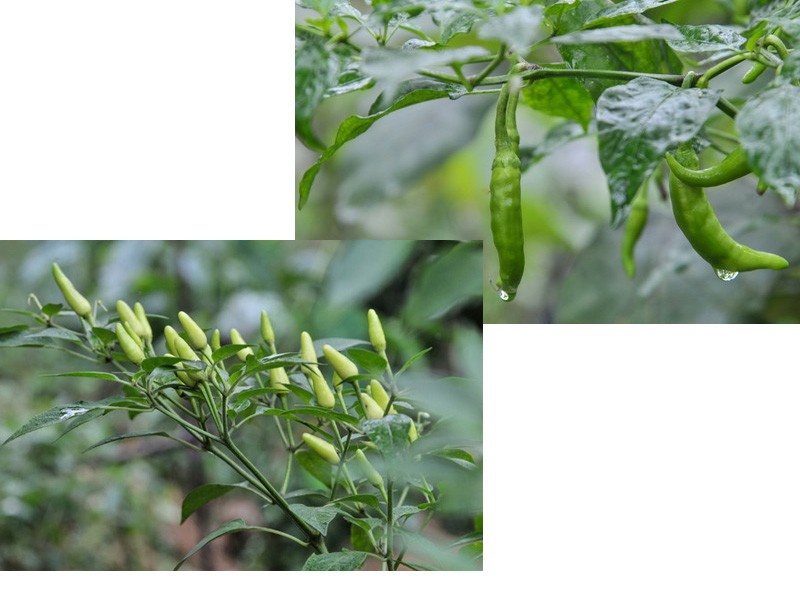 Crop Red Chilli