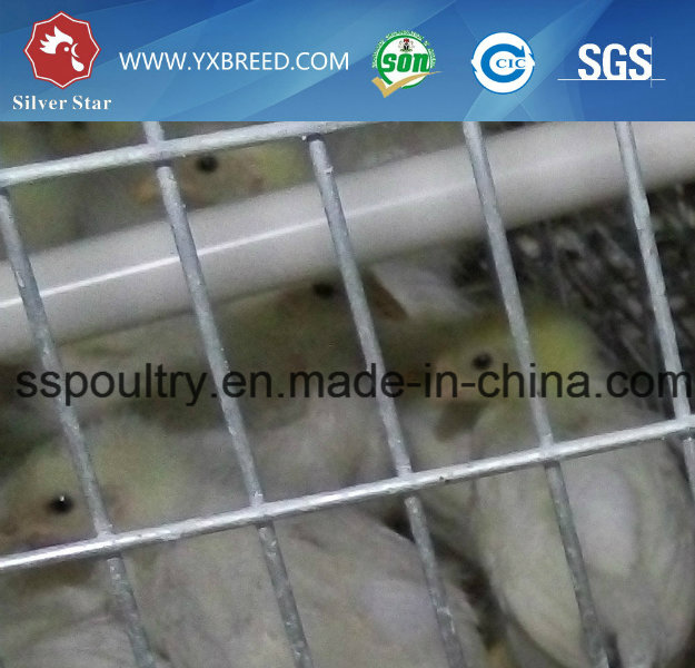 Automatic a Type Poultry Cage