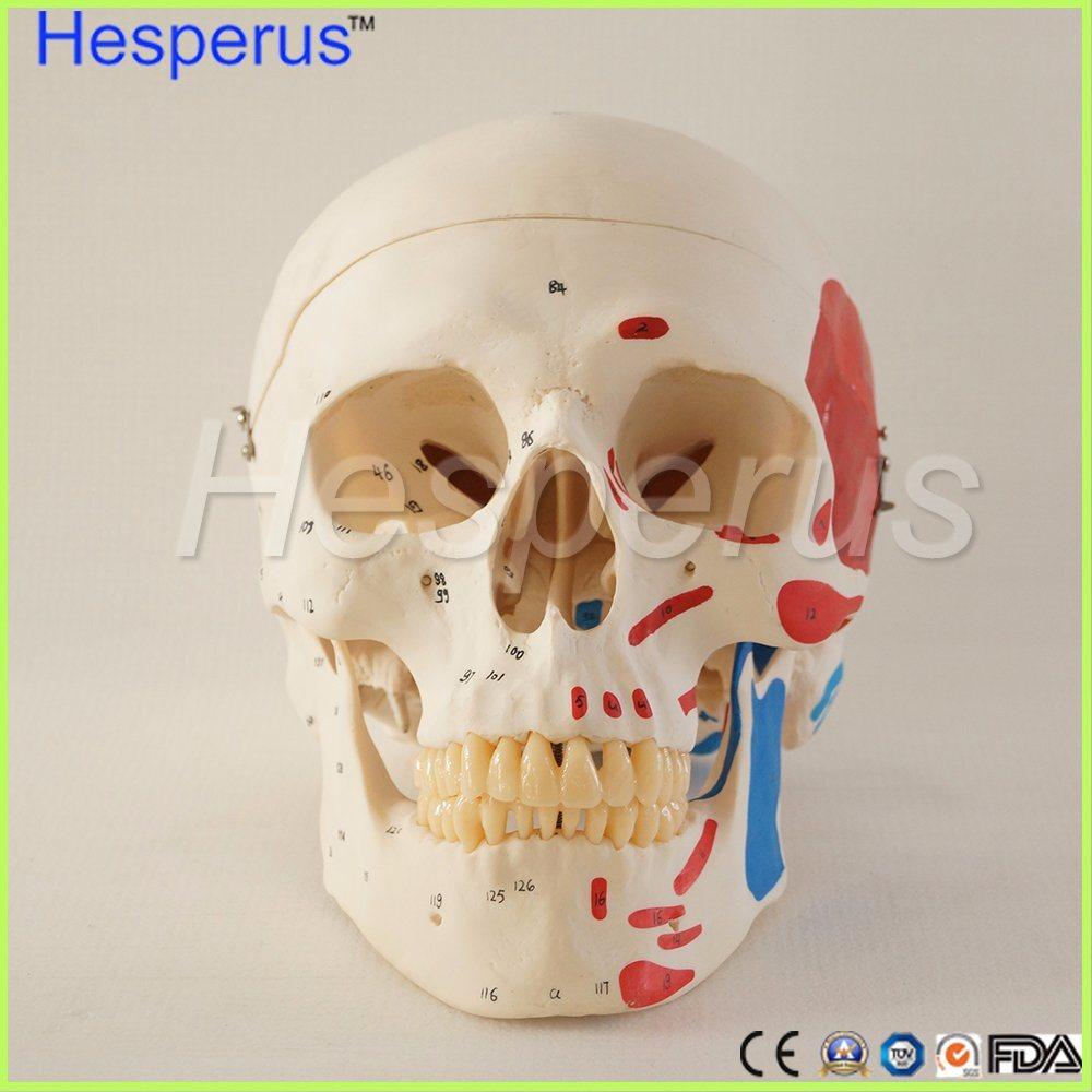 Life Size Human Anatomy Skull Brain Skeleton Anatomical Dental Dentist Lab Anatomia Model Skin in Trauma for Bag Refrig Hesperus