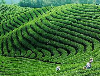 Good Price Green Tea