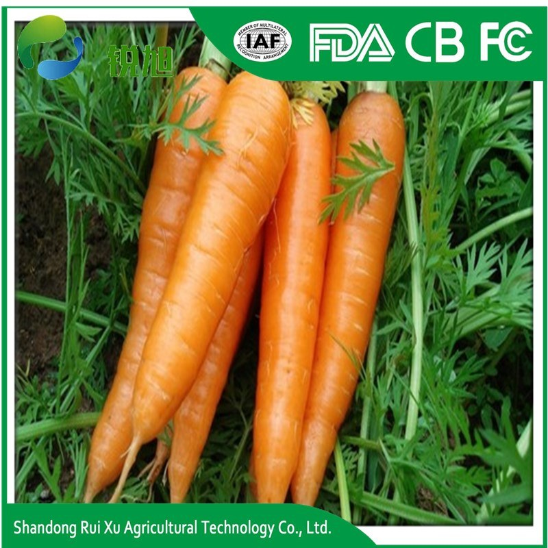 Popularly Low Price China Fresh Carrot in Good Quality