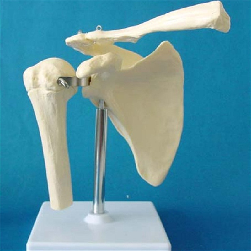 Human Shoulder Joint Skeleton Anatomical Model (R020921)