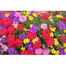 Massive Selection for Garden Verbena Seeds Sale Verbena Flower Seeds supply to Bermuda Manufacturer