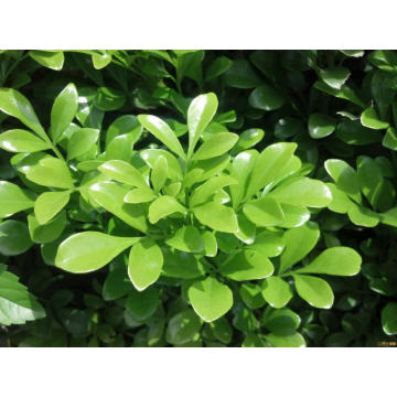 Reliable for Wintergreen Essential Oil,Wintergreen Extract Essential Oil,Organic Wintergreen Essential Oil Manufacturers and Suppliers in China Wintergreen Essential Oil 10ml supply to Portugal Manufacturers