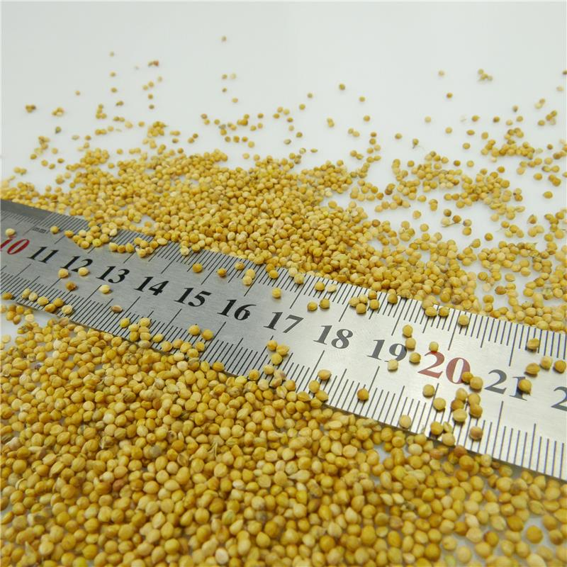 High Quality Machine Cleaned Yellow Millet In Husk