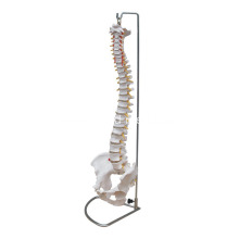 10 Years for Liver Model Life-Size Vertebral Column with Pelvis supply to Mexico Manufacturers