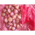 Fresh Red Onion In High Quality