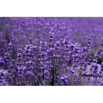 Lavender Essential Oil 50ml