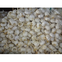 Pure White Garlic Crop 2019