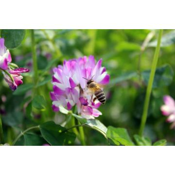 Nature Bulk Clover Honey / Chinese milk vetch flower honey