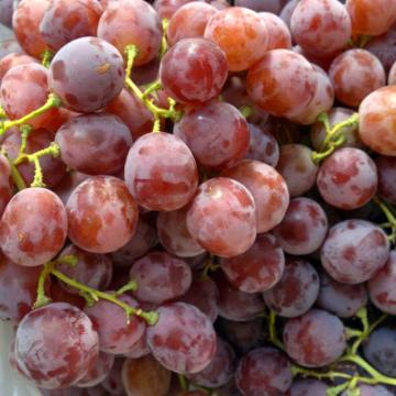 Globe Best Quality Grape Top Grade for Sale