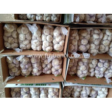 Normal white garlic to Middle East