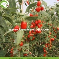 Factory Supply Fruit Nutrition Lose Weight Goji Berries