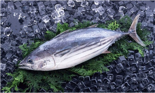 Whole Round Frozen Skipjack Tuna