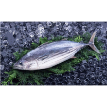 High Quality for China Delicious Frozen Fishes Mix,Frozen Seafood Mix In Fish,Frozen Sardines Fish Supplier Whole Round Frozen Skipjack Tuna supply to Fiji Importers