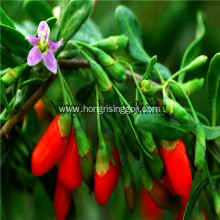 Organic big Tibetan Goji berries wolfberries
