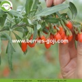 Factory Supply Fruits Healthy Improve Eyesight Goji Berry