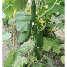 Chinese f1 hybrid cucumber seeds for sale