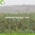 Factory Supply Dried Red Fruit Goji Berry