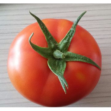 Ability hybrid tomato seeds for sale