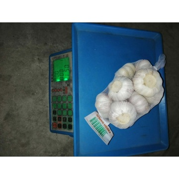 new crop fresh garlic exporter