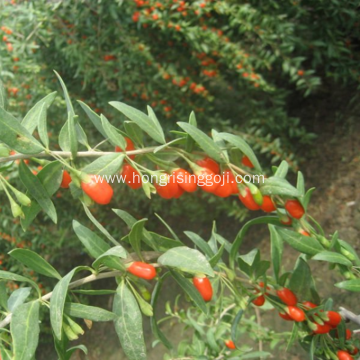 Goji berry of 350 Grains/50G ISO Certificate