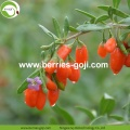 Factory Supply Healthy Natural Chinese Wolfberry